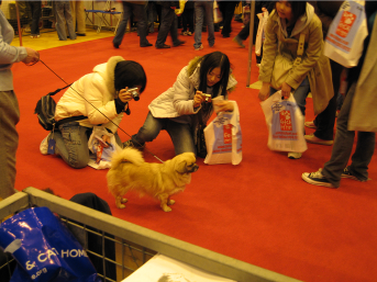 Tibetan spaniel at Crufts discover dogs stand