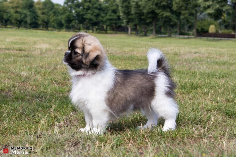Tibetan Spaniel puppy